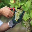 Stock Photo: Pruning grapes