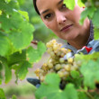 Woman harvesting grapes. — Stock Photo