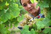 Woman harvesting grapes. — Stock Photo