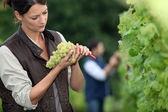 Winemaker with bunch of grapes — Stock Photo