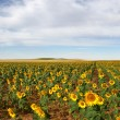 Sunflowers — Stock Photo #9991693