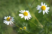 Three daisy in the grass — Zdjęcie stockowe