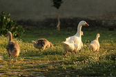Geese family — Stock Photo