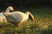 Young geese — Photo