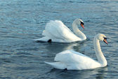 A pair of swans — 图库照片