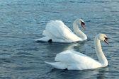 Um par de cisnes — Foto Stock