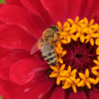 Stockfoto: Honey bee