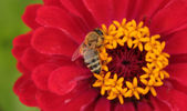 Honey bee — Photo