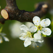 Cherry blossom — Stockfoto
