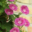 Stock Photo: Convolvulus flowers