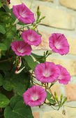 Convolvulus flowers — Stock Photo