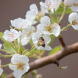 图库照片: Pear blossoms II