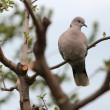 Turtle Dove — Foto de Stock