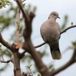 Turtle Dove — Foto de stock #9970639