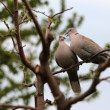 Stok fotoğraf: Pair of turtle dove