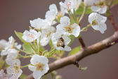 Pear blossoms II — 图库照片