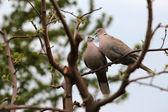 Dvojice želva holubice — Stock fotografie