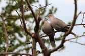 Pair of turtle dove — Foto Stock