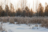 Frozen swamp, with with reeds — Stock Photo