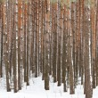 Stock Photo: Pine winter forest