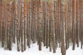 Forêt de pins hiver — Photo