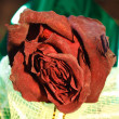 Maroon wilted rose — Stock Photo
