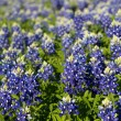 Texas Bluebonnets — Stock Photo #10697919