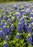 Texas bluebonnets — Stok fotoğraf