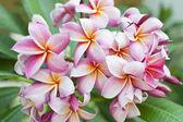 Pink frangipani plumeria flower — Stock Photo