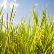 Stock Photo: Green grass and blue sky background