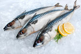 Mackerel fish on ice — Stok fotoğraf