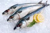 Mackerel fish on ice — Stock Photo