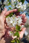 Branche de floraison cerises douces mains féminines — Photo