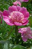 Pink peony — Stok fotoğraf