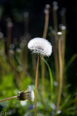 Alone dandelion — Stock Photo