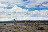 Guanacos in patagonia — Stock Photo