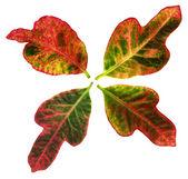 Four Leaves of garden croton (Codiaeum variegatum) — Stock Photo