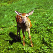 Постер, плакат: Red deer calf in the meadow