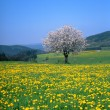 Stock Photo: Spring landscape with flowering fruit trees and dandelion meadow