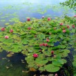Water-Lily (Nymphaea) — Foto de stock #9673794