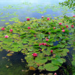 Water-Lily (Nymphaea) — Foto Stock #9673794