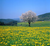 Spring landscape with flowering fruit trees and dandelion meadow — Stock Photo