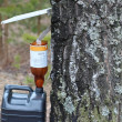 Collect birch sap — Stock Photo