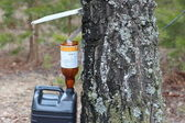 Collect birch sap — Stock Photo