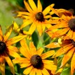 Stock Photo: Yellow daisy (Rudbeckihirta)
