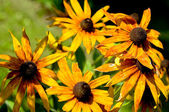 Yellow daisy (Rudbeckia hirta) — Stock Photo
