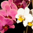 Orchideon black — Stock Photo #10104446
