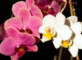Orchidea on black — Stock Photo
