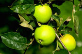 Aple on the branch — Stock Photo