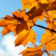 Yellow autumn leaves — Stock Photo #10260806